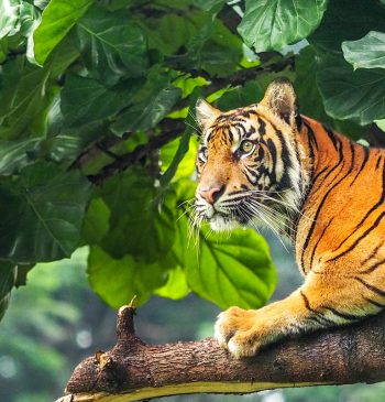 Tiger in Indonesien
