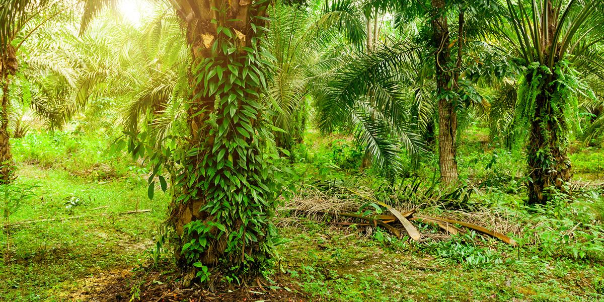 Palmen Indonesien